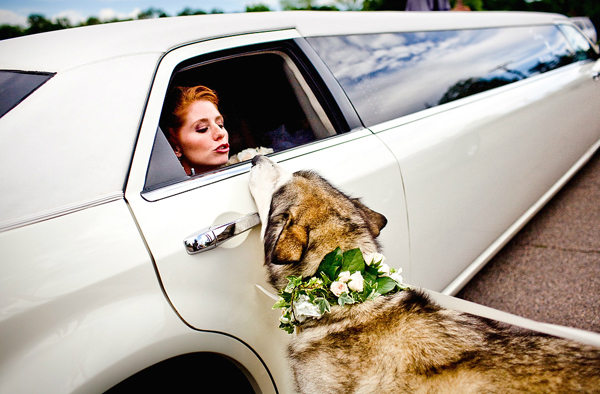 dog with bride in limo at wedding, photo by Twin Lens | junebugweddings.com