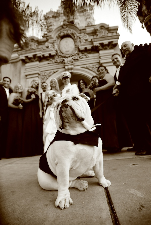 proud bulldog posed in front of wedding party - adorable wedding day dog photo by top Orange County wedding photographer Paul Barnett