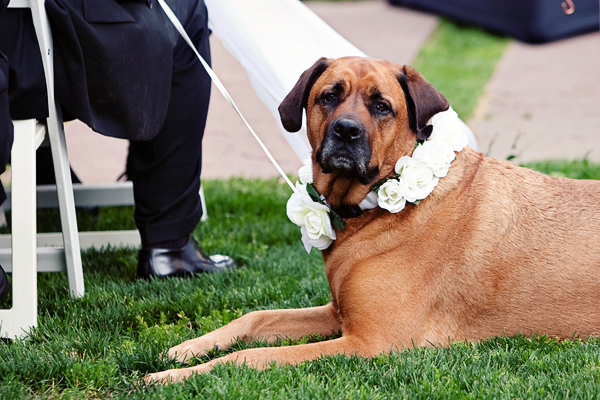 sweet dog in flower collar waiting for wedding ceremony - photo by top Denver wedding photographer Jared Wilson