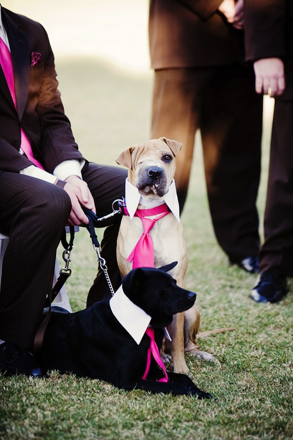 adorable rescue hound dog in hot pink tie for wedding day - adorable wedding day dog photo by top Arizona wedding photographer Jennifer Bowen