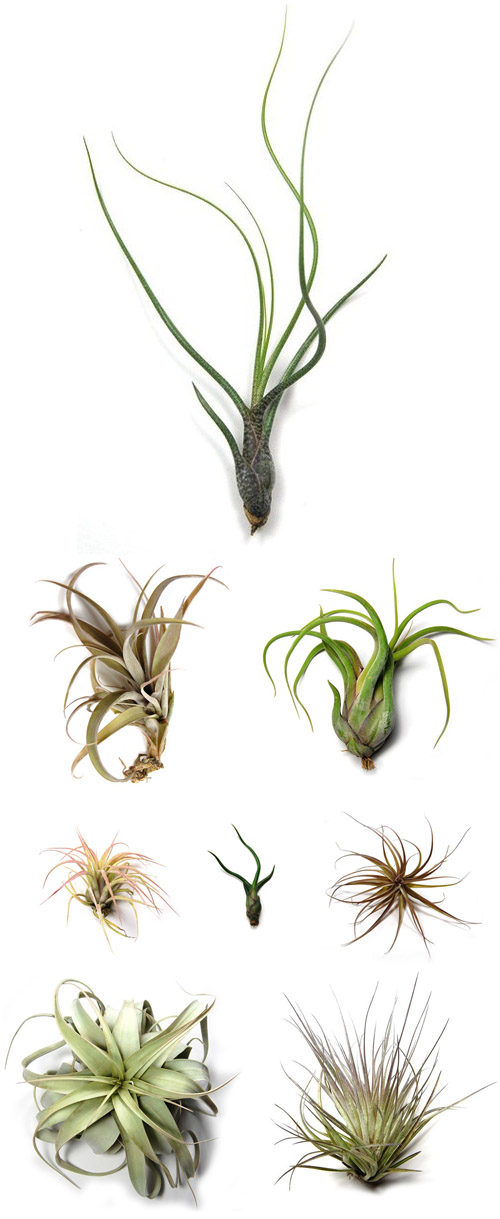 beautiful tillandsia air plants from Air Plant Supply Co., creative botanical wedding favors and decor