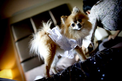 tiny dog wedding ring bearer